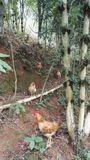 石斛林下放养土鸡